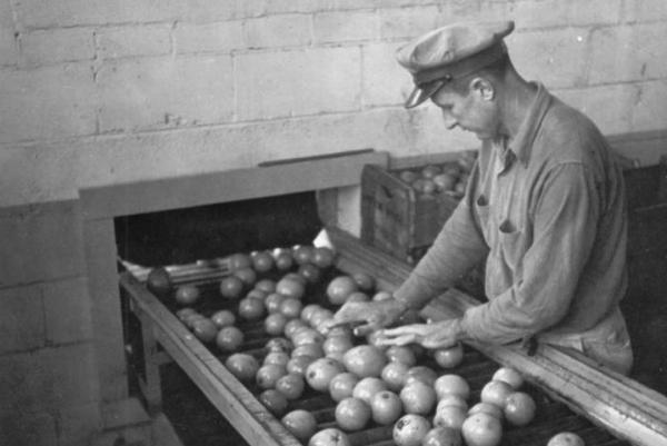 A citrus worker in Plymouth, Fla. grades oranges in this 1942 photo.