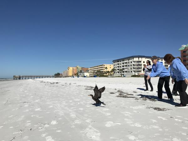 A duck being released back into the Gulf of Mexico at an Indian Shores beach.