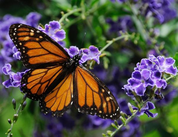 In this Oct. 21, 2013 file photo, a monarch butterfly lands on a confetti lantana plant. (Pat Sullivan/AP)