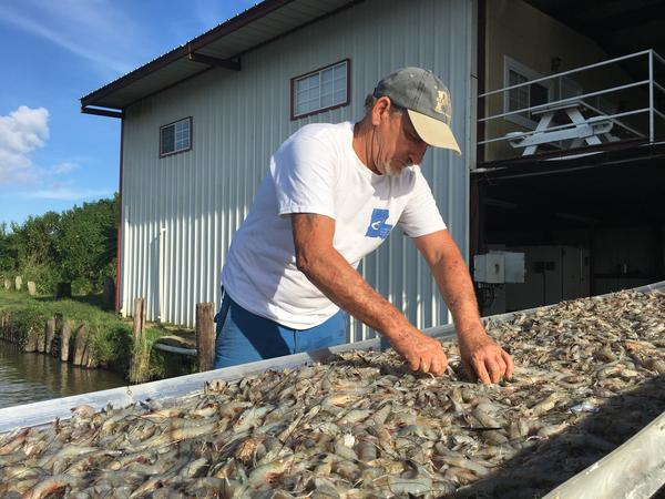 Shrimper and President of the Louisiana Shrimp Association, Acy Cooper, Jr. unloads his catch at a dock in Venice, LA on August 22, 2017. Many local shrimpers say imports have been driving down the price of Gulf shrimp.