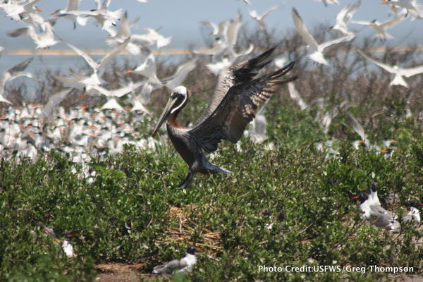 Several brown pelicans were reported either injured or killed in both Plaquemines and St. Bernard Parishes. After an investigation and necropsies, the Louisiana Department of Wildlife and Fisheries determined that no foul play was involved.