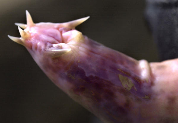 A hagfish is shown in Portsmouth, N.H. on April 6, 2002.