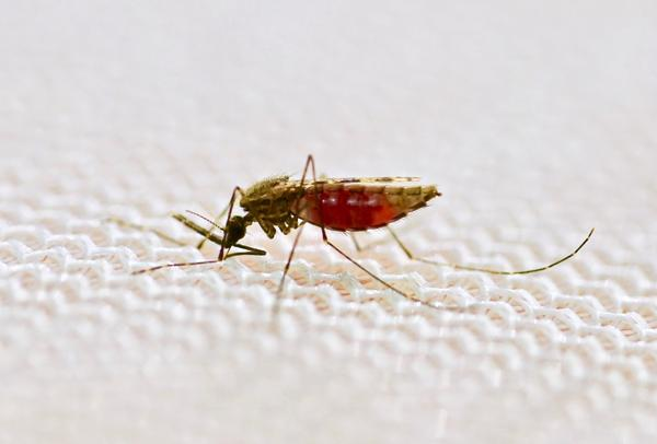 A female <em>Anopheles gambiae </em>mosquito feeds on human blood through a mosquito net.