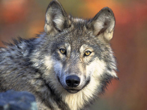 The U.S. Fish and Wildlife Service will propose lifting protections on the gray wolf, seen here in 2008. The species' status under the Endangered Species Act has been contested for years.