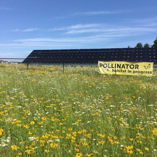 This solar array in Minnesota has pollinator-friendly vegetation under and around the panels.