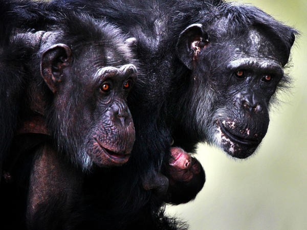 A chimpanzee hugs her newborn at Burgers' Zoo in Arnhem, Netherlands, in 2010. Over the course of his long career, primatologist Frans de Waal has become convinced that primates and other animals express emotions similar to human emotions.