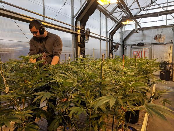 Marijuana grower in Denver, Colorado