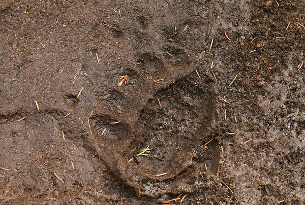 Grizzly bear track on a trail in Yellowstone National Park.