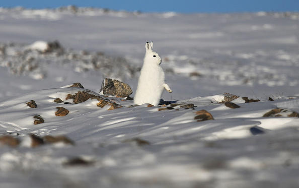 PITUFFIK, GREENLAND - MARCH 25:  A snowshoe hare stands near Thule Air Base in Pituffik, Greenland. Scientists have said the Arctic has been one of the regions hardest hit by climate change.