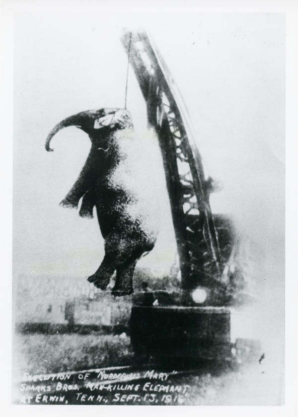 In this 1916 photo, Mary the elephant hangs from the crane in Erwin, Tenn.
