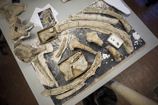 Researchers are unwrapping bones dug up in Texas in the 1930s. (Gabriel C. Pérez/KUT)