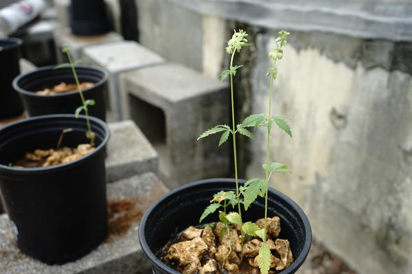 Hemp plants growing inside a University of Florida greenhouse in Homestead. The first legal industrial hemp seeds in decades are now growing in South Florida.