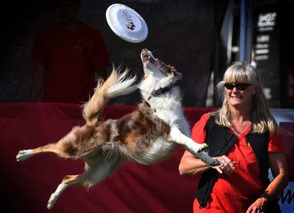 Jaeleen Sattler's border collie Sprint catches a frisbee during a competition in California. New research suggests that dog stress mirrors owner stress, especially in dogs and humans who compete together.