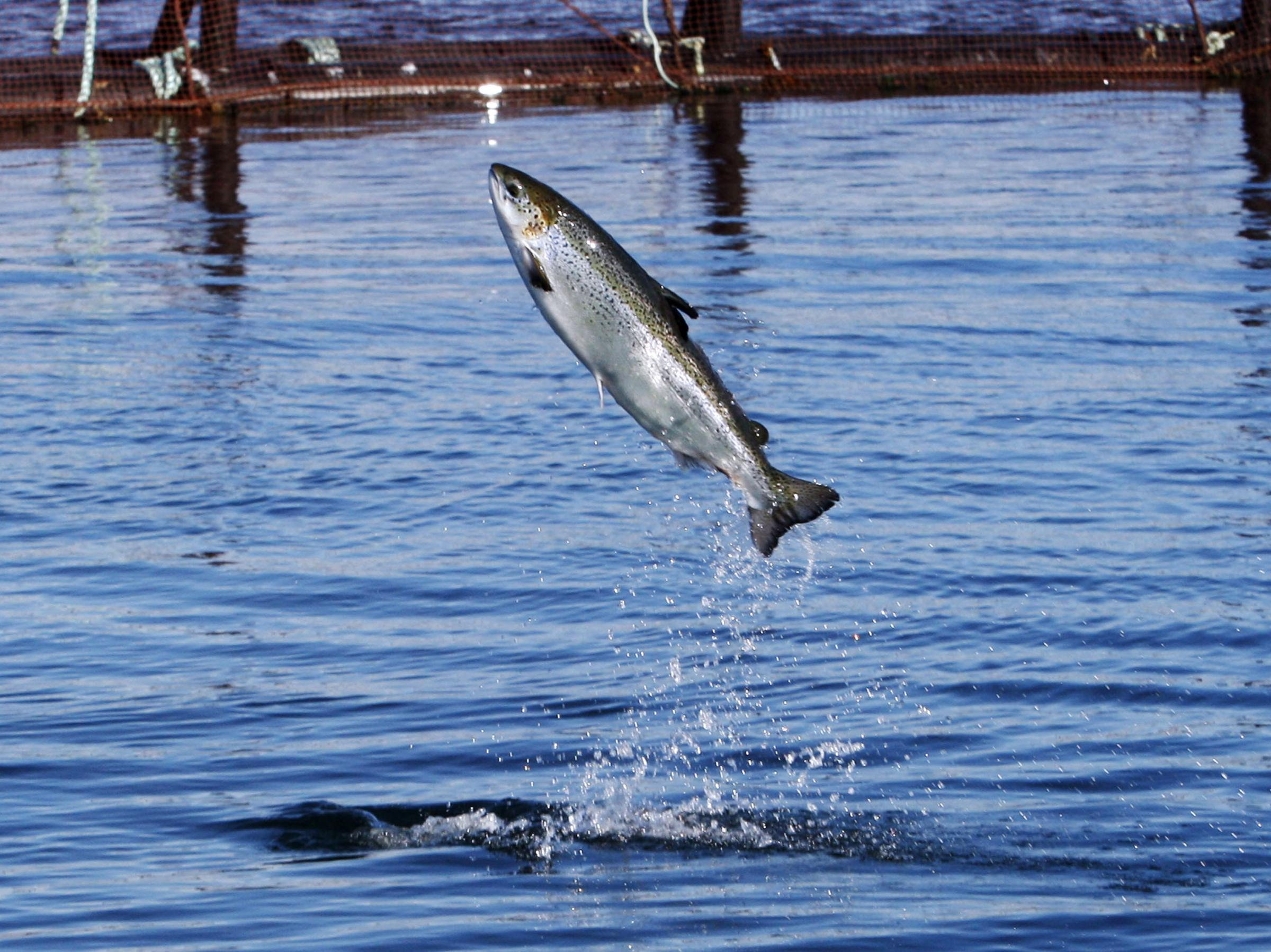 Getting a more svelte salmon to your dinner plate kuow for Public fishing near me