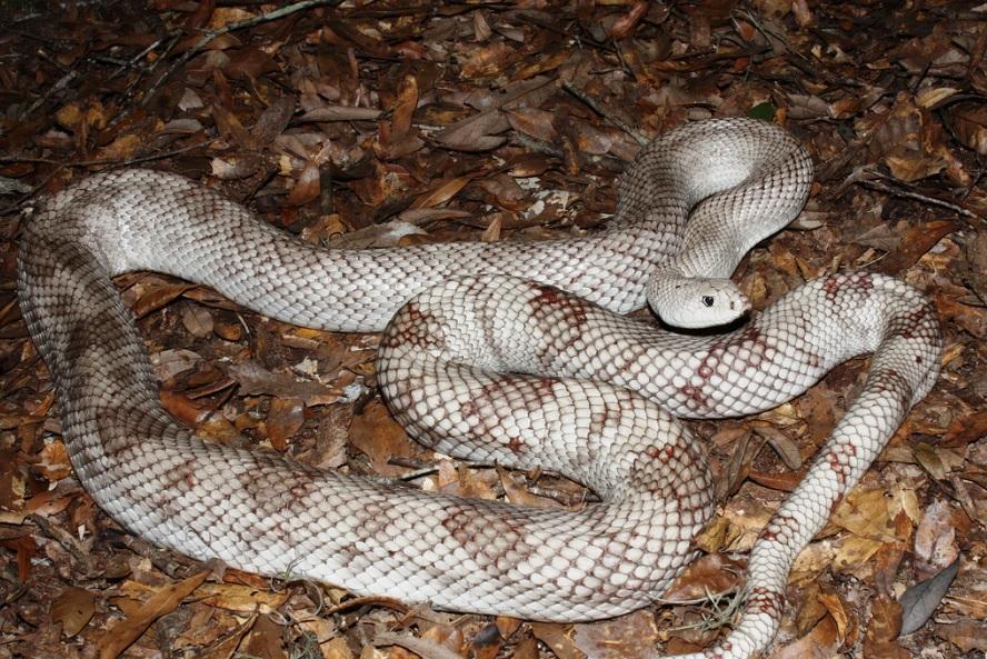 Alabama black snake 2 - 3 6