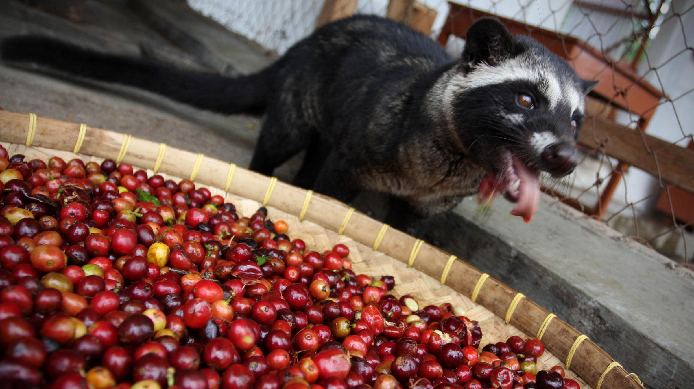 Now A Test Can Tell If Your Pricey Cup Of Cat Poop Coffee Is Fake Kuow News And Information
