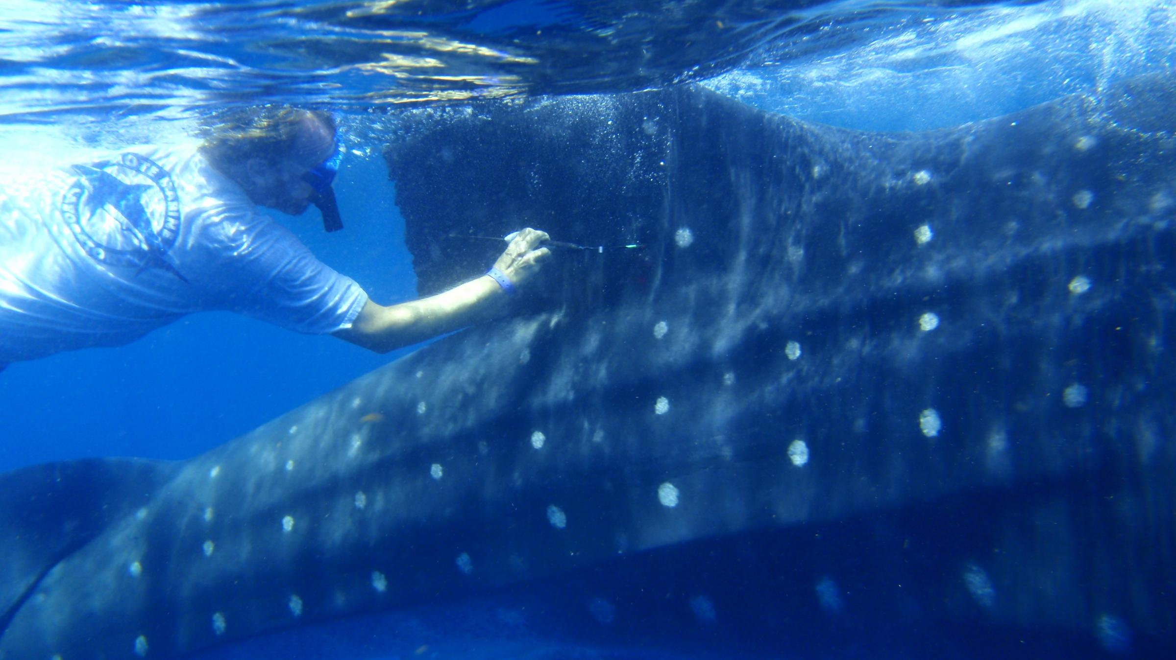 where the whale sharks go wlrn robert hueter tags a whale shark off the coast of the tags measure location depth and water temperature then relay the data back to a lab