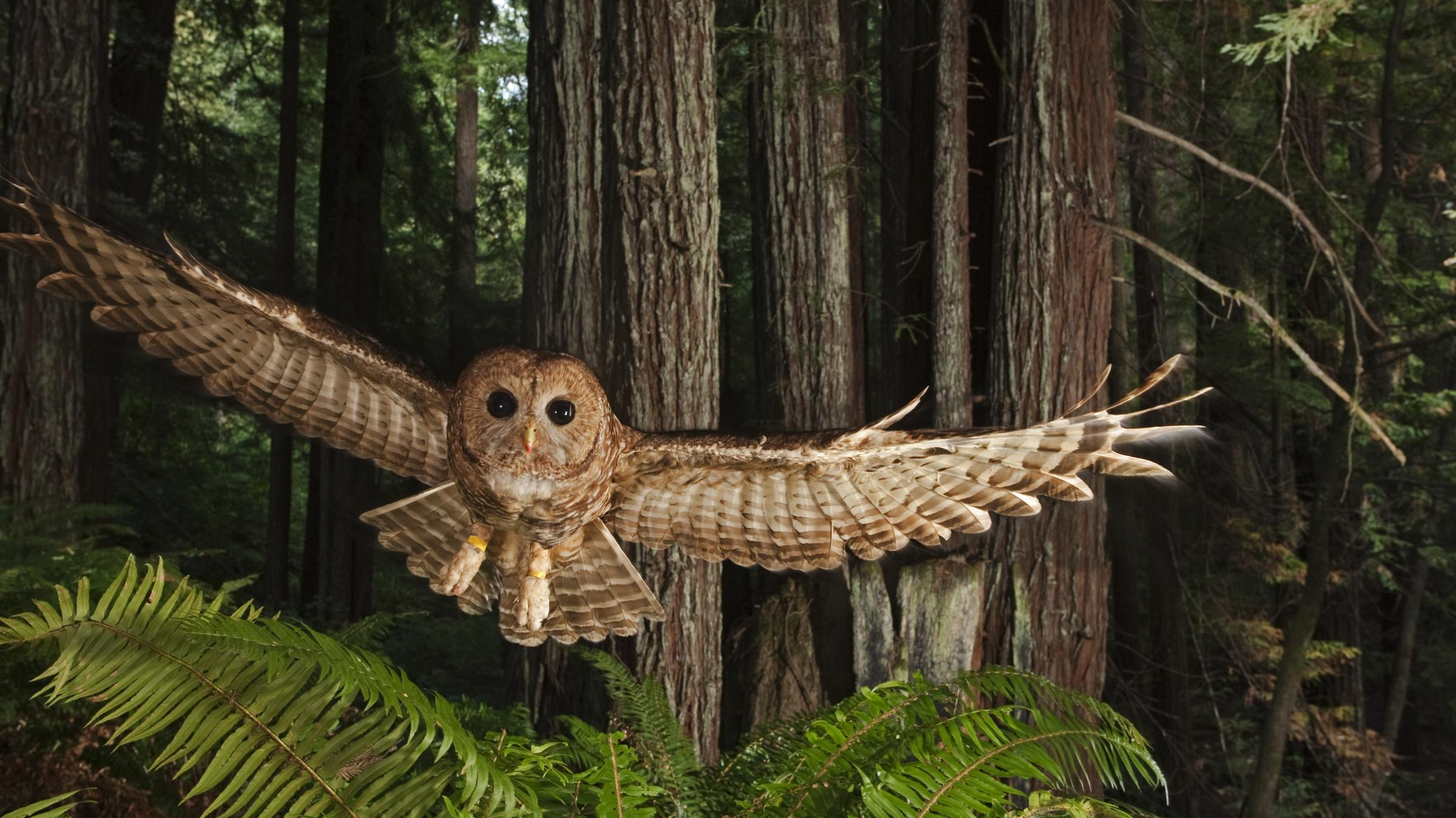 the recovery plan to save the northern spotted owl Usfws' findings came in the form of a february 19 biological opinion on the risk the westside plan poses to the northern spotted owl a 2011 recovery plan for the owl started by listing fire as a major threat, but then went on to admit that some studies showed that spotted owls not only forage but actually.