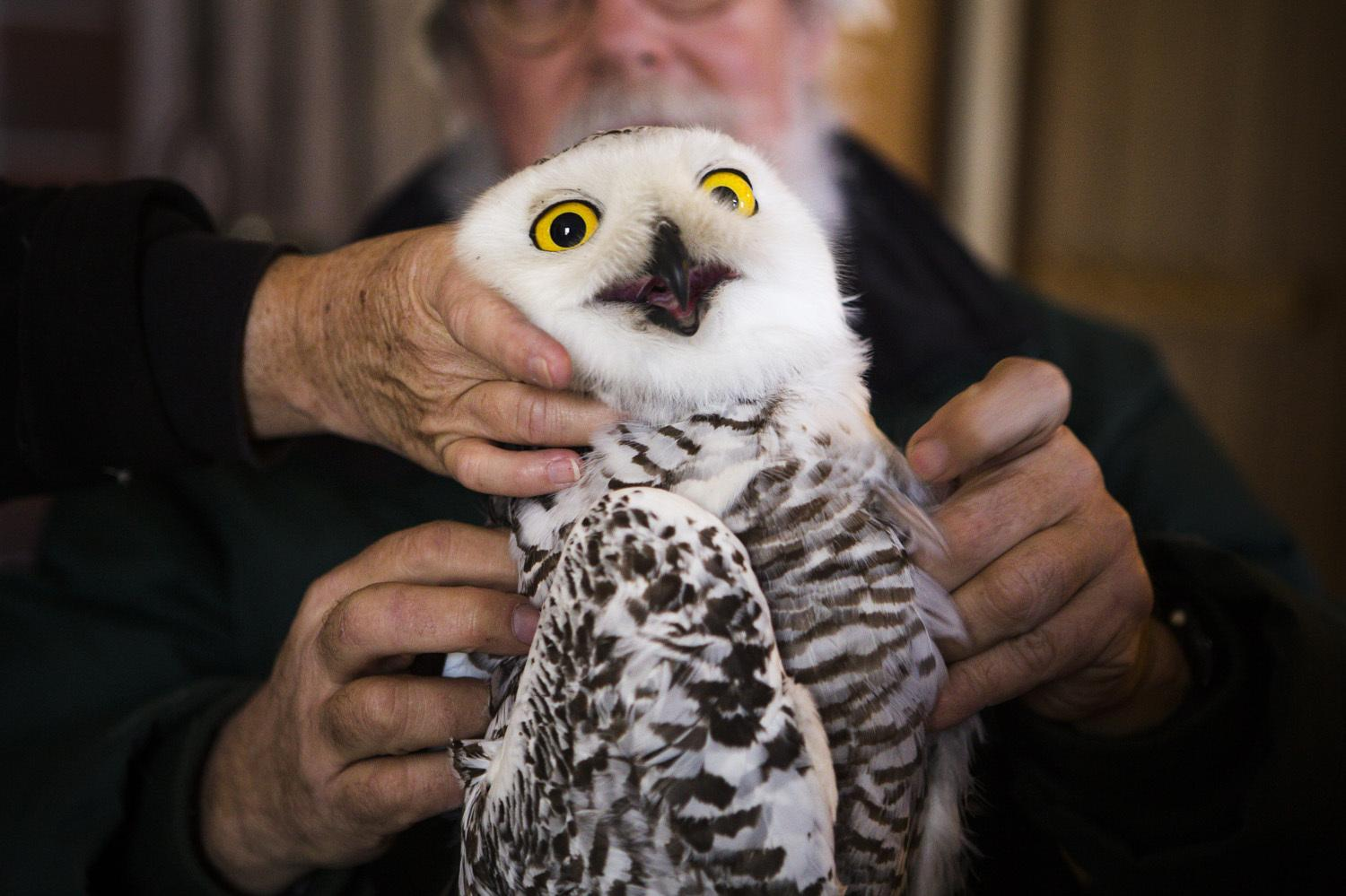 Trapping and tracking the mysterious snowy owl kuow news and view slideshow 1 of 9 biocorpaavc Choice Image