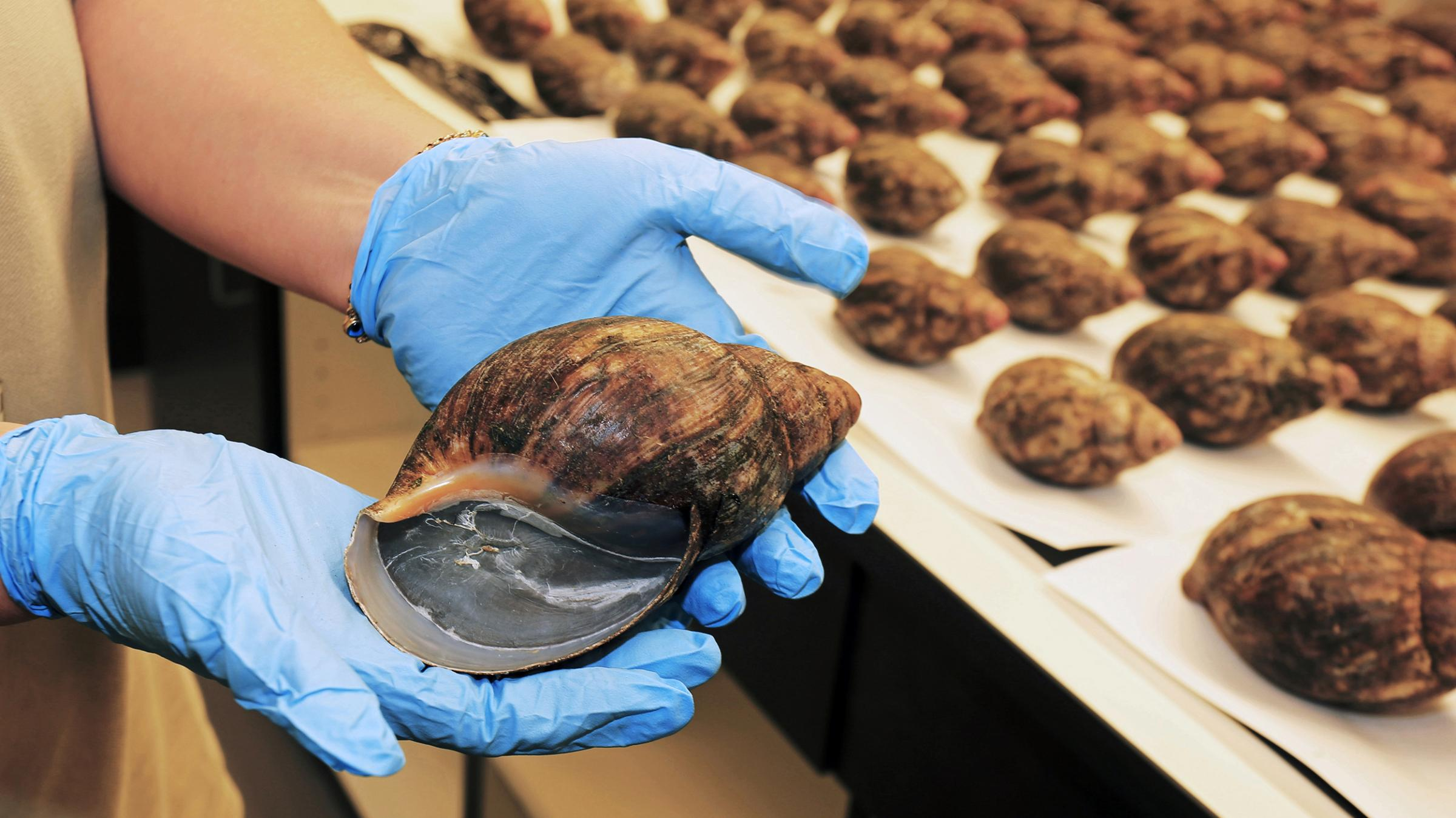 View Slideshow 1 of 2 & U.S. Customs Seize Giant African Snails Bound For Dinner Plates ...