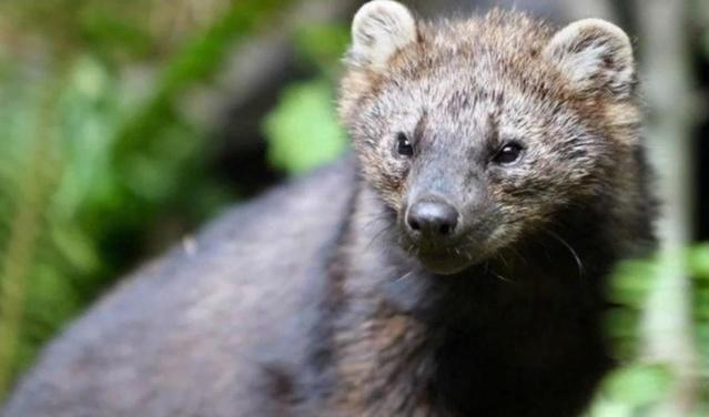 Illegal pot farms are poisoning this furry animal kuow for Us fish and wildlife service jobs