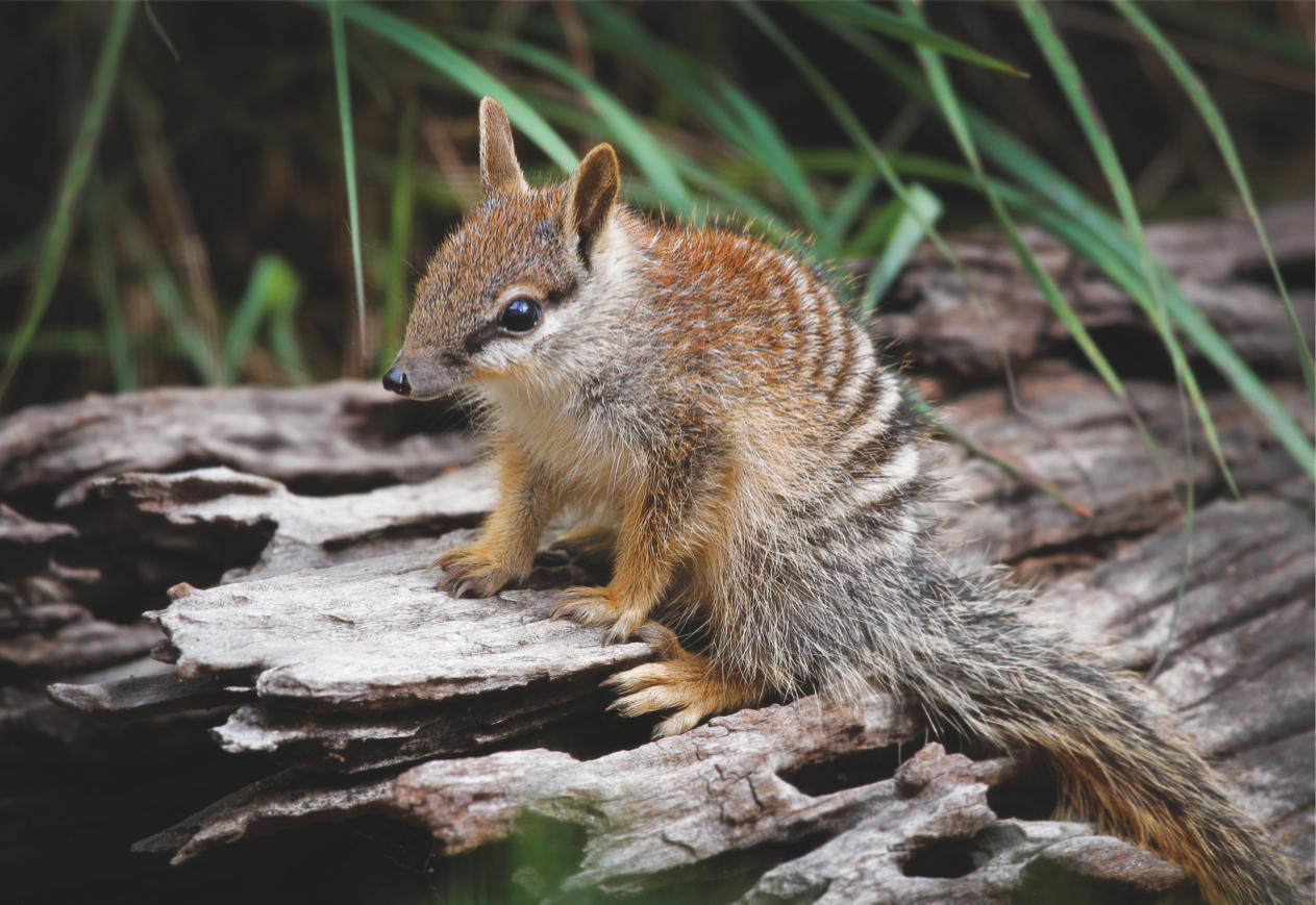 How to feed a numbat zoo cookery aids endangered species for Endangered fish species