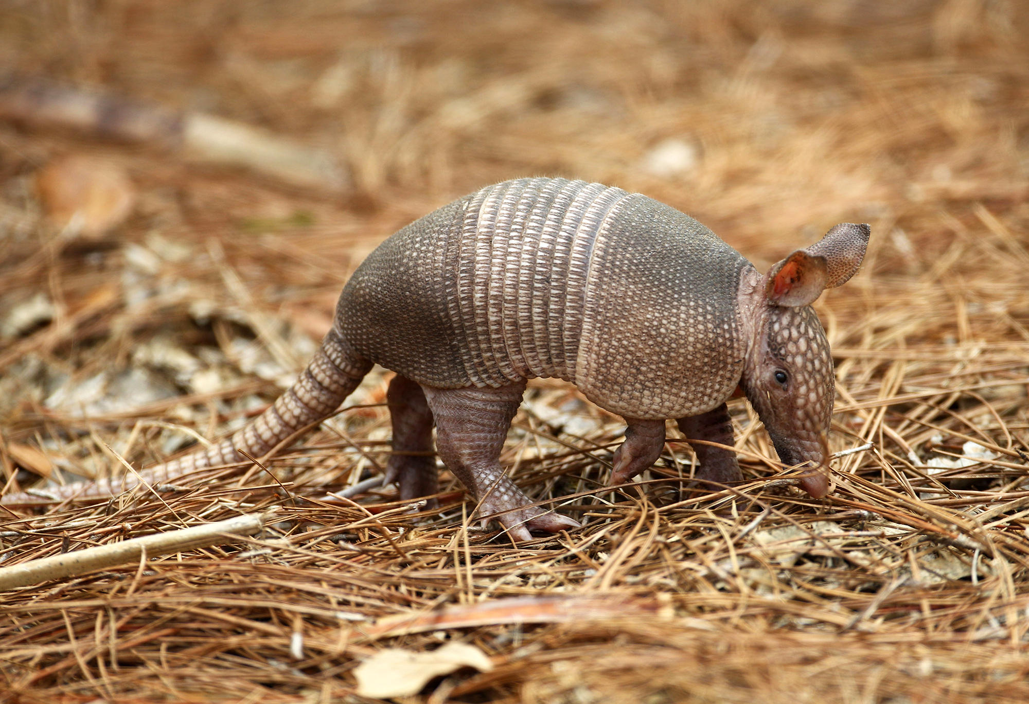 Leprosy From An Armadillo? That's An Unlikely Peccadillo