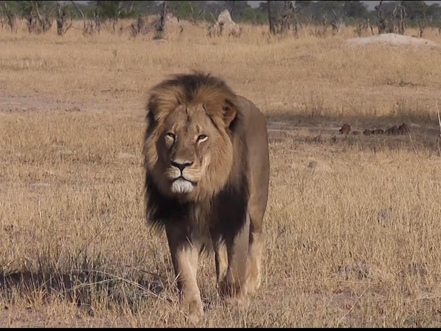 Investigation Underway Into Killing Of Cecil, Zimbabwe's