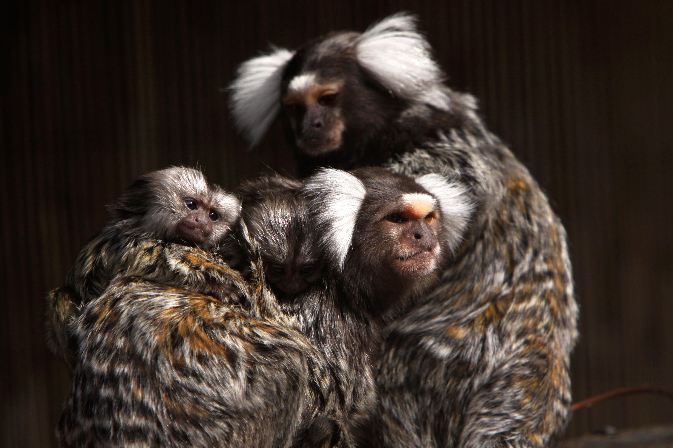 Study shows wild monkeys can learn new tricks from ...