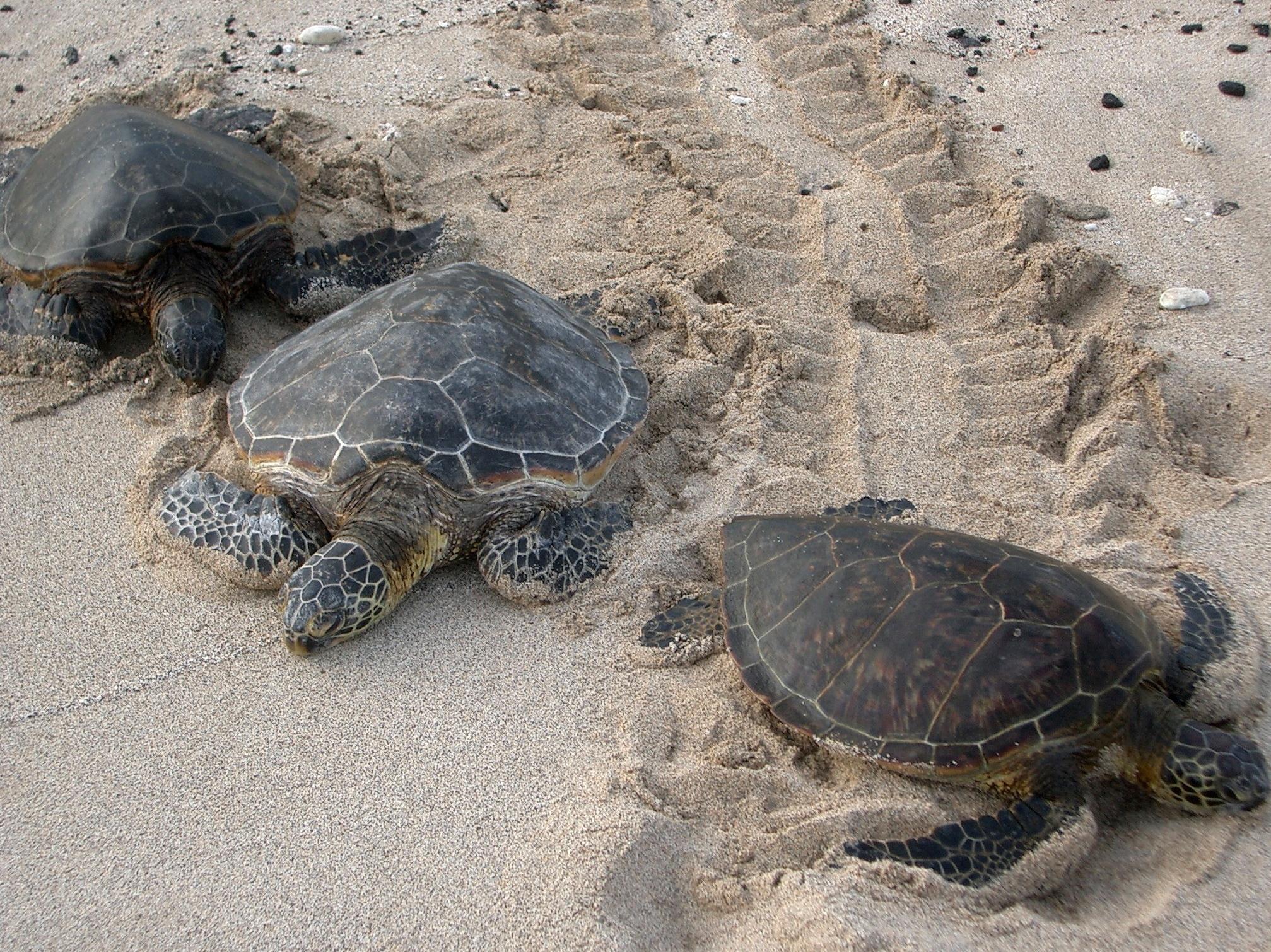 Sea Turtles in Georgia Sea Turtle Nesting Records in