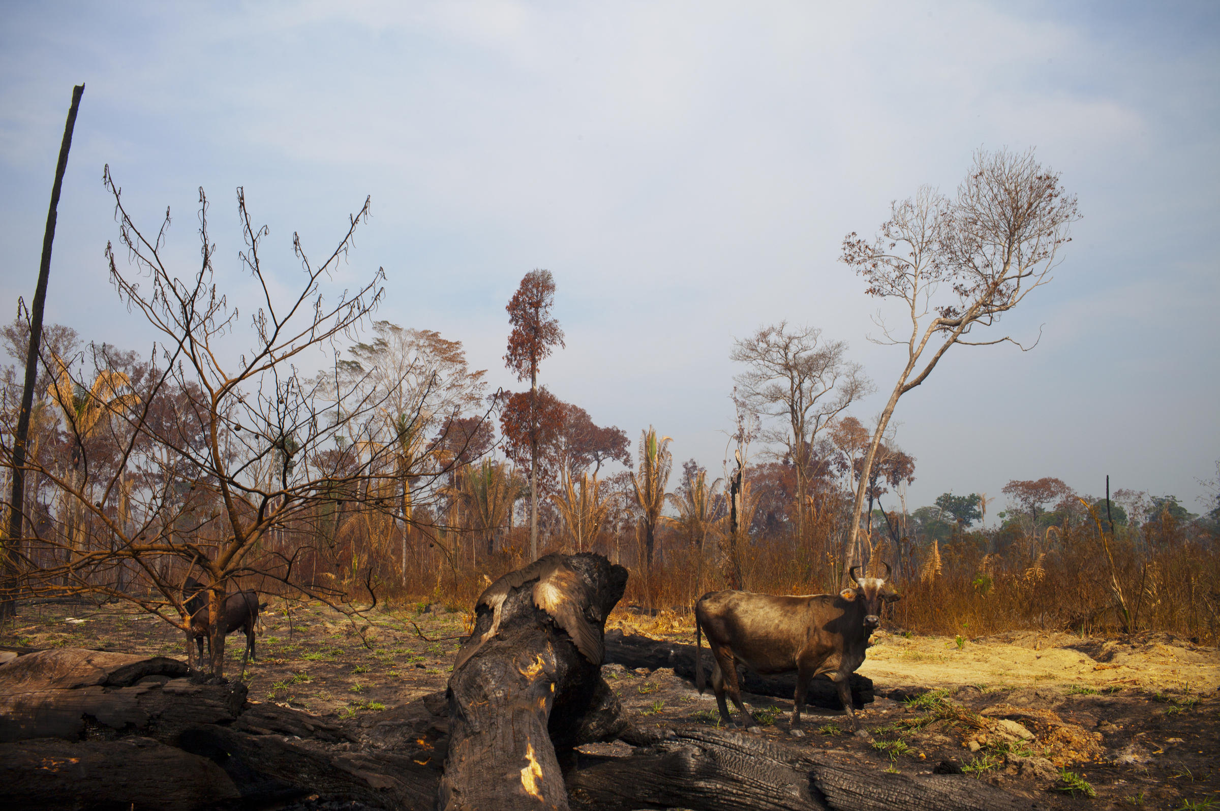 In Brazil Deforestation Is Up And So Is The Risk Of Tree - Brazil's tallahassee