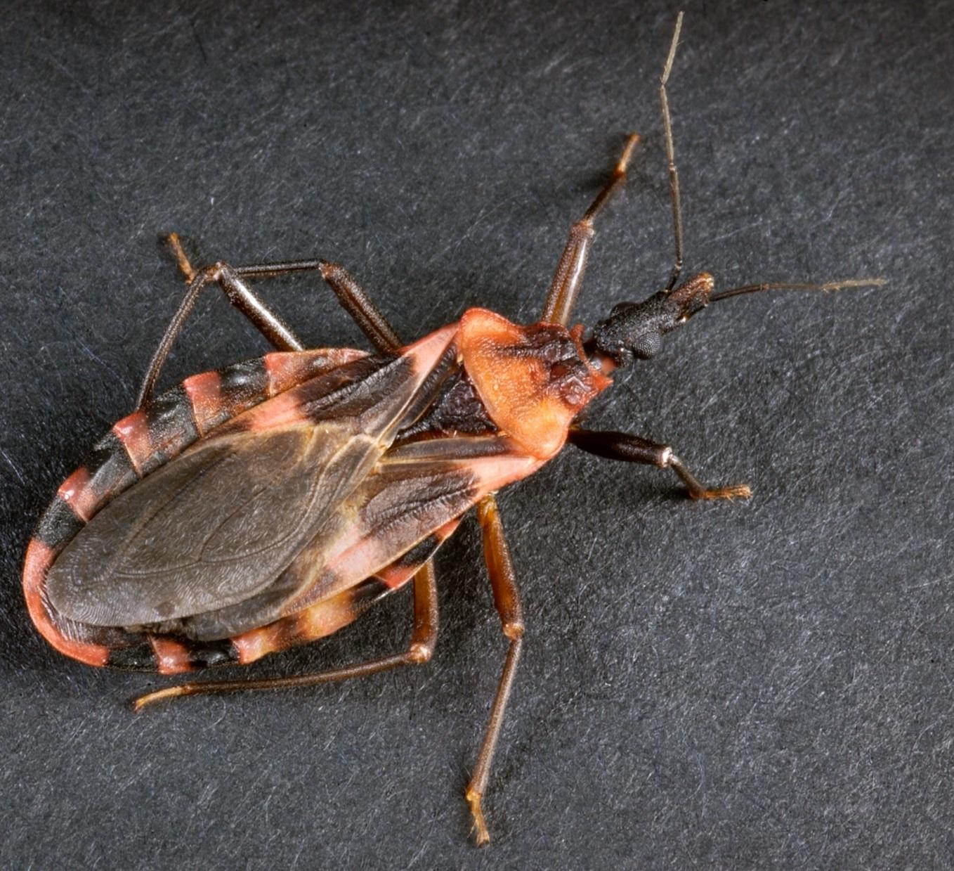 kissing bug in wv