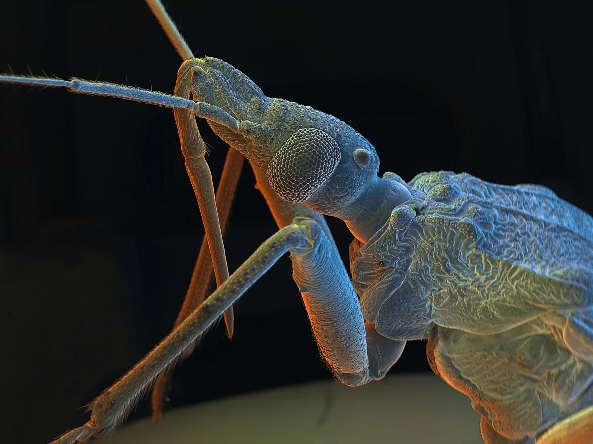 kissing bug in wv