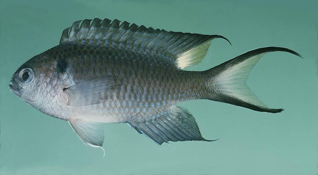 Nonnative fish species detected in gulf waters wlrn for Gulf fish species