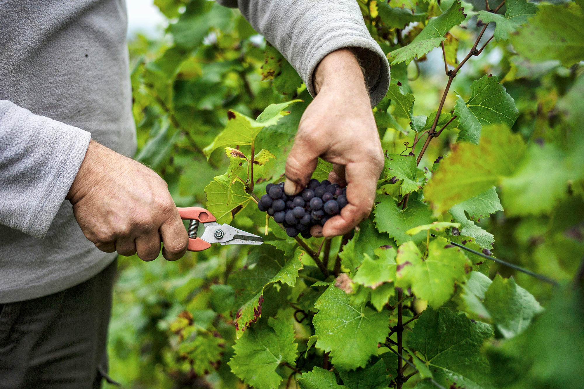 An upside to climate change better french wine kuow news and information - The splendid transformation of a vineyard in burgundy ...