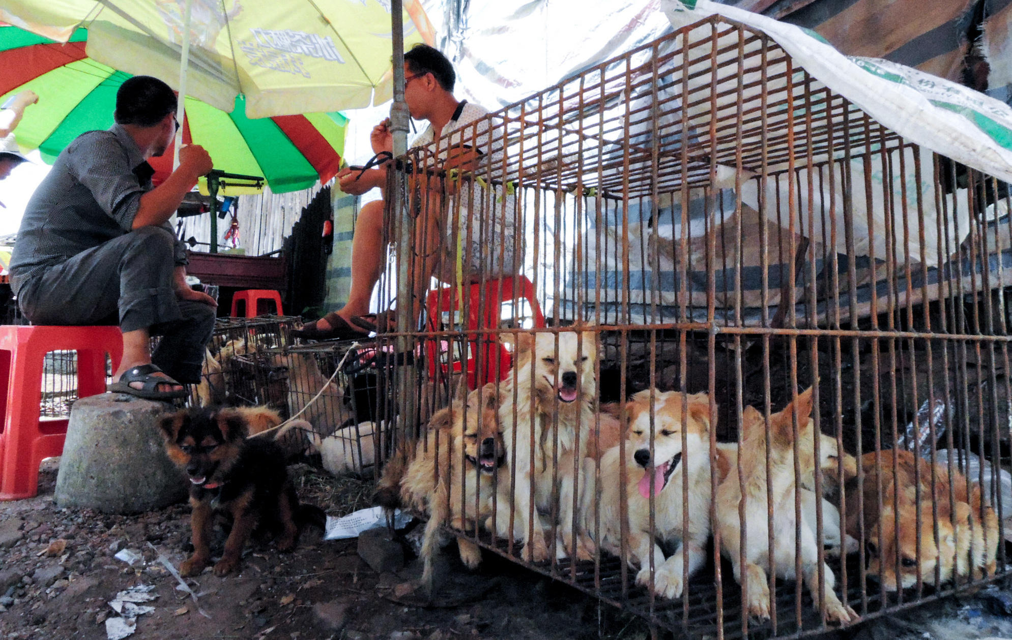 China's Dog Meat Festival Will Go On Despite Growing ... - photo#32