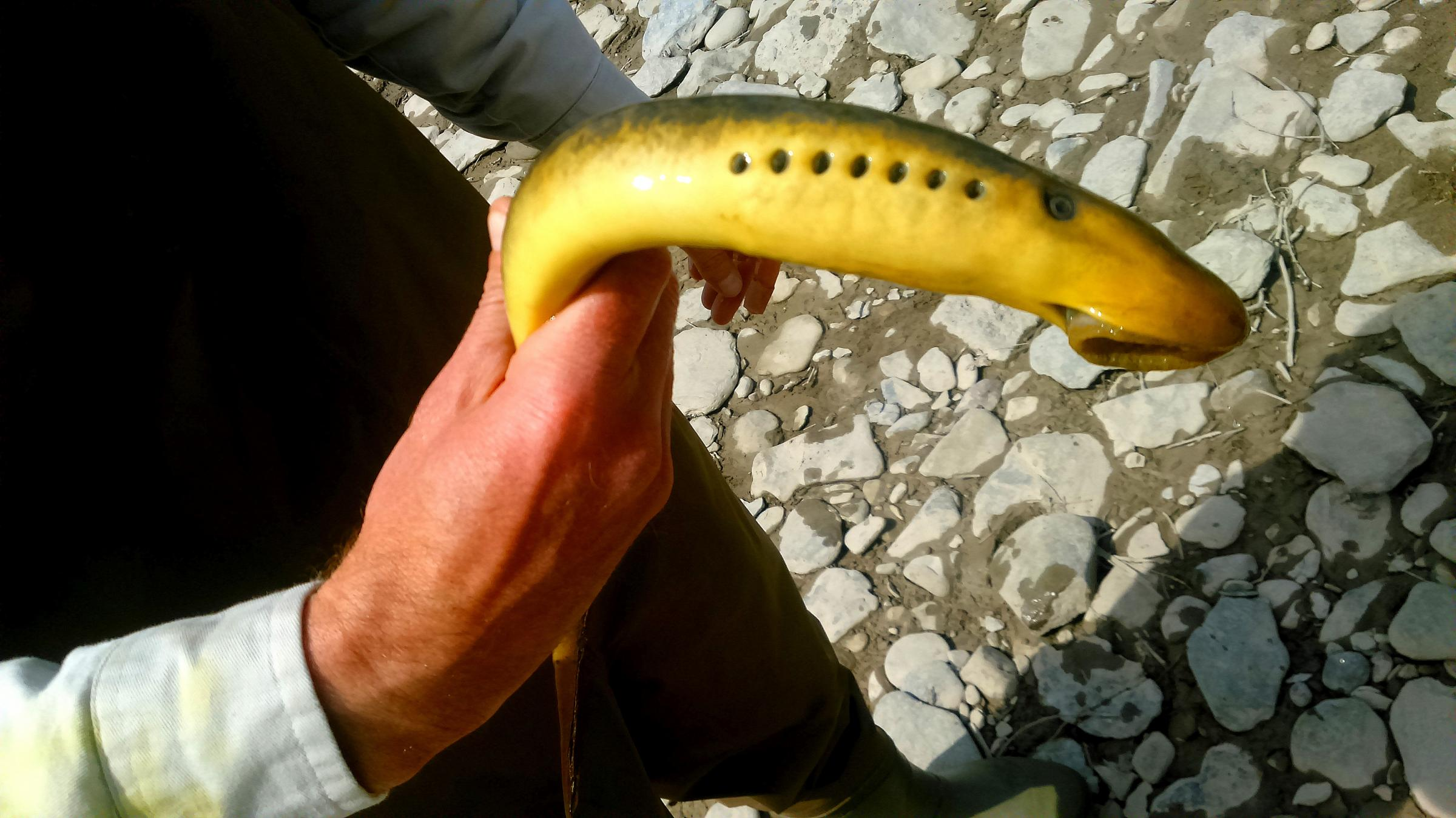 e17a2c7cc57a Invaders of the Great Lakes... Sea Lamprey