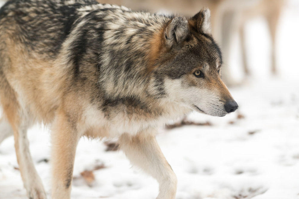 Wolf advocates outraged that state preparing kill wolves