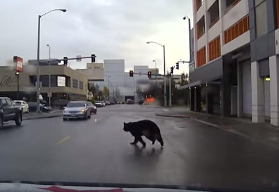 Bear leads police on wild chase through the streets of for Department of motor vehicles anchorage alaska
