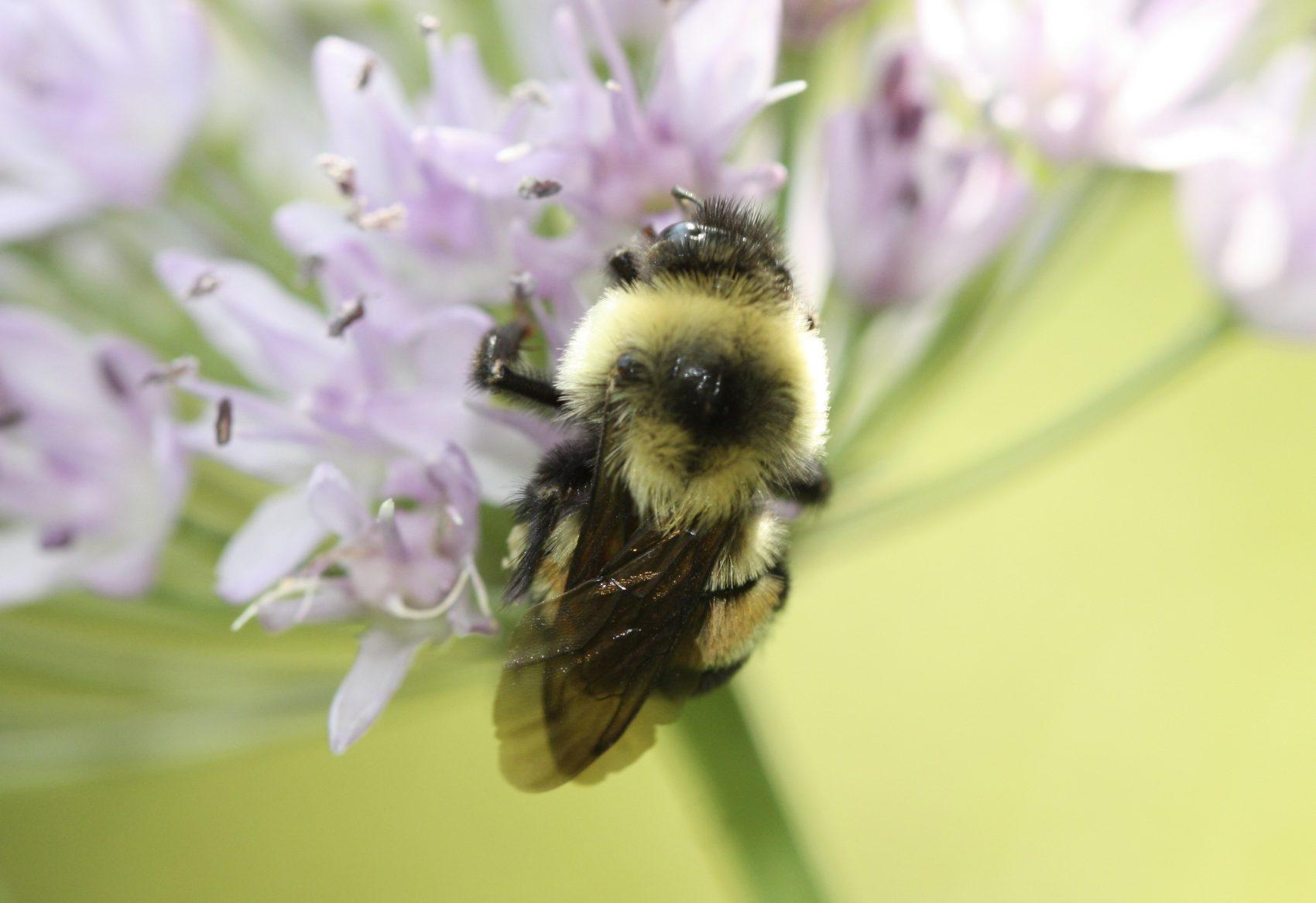 Endangered Bumble Bees The Focus Of Chicago Groups' Protection Efforts