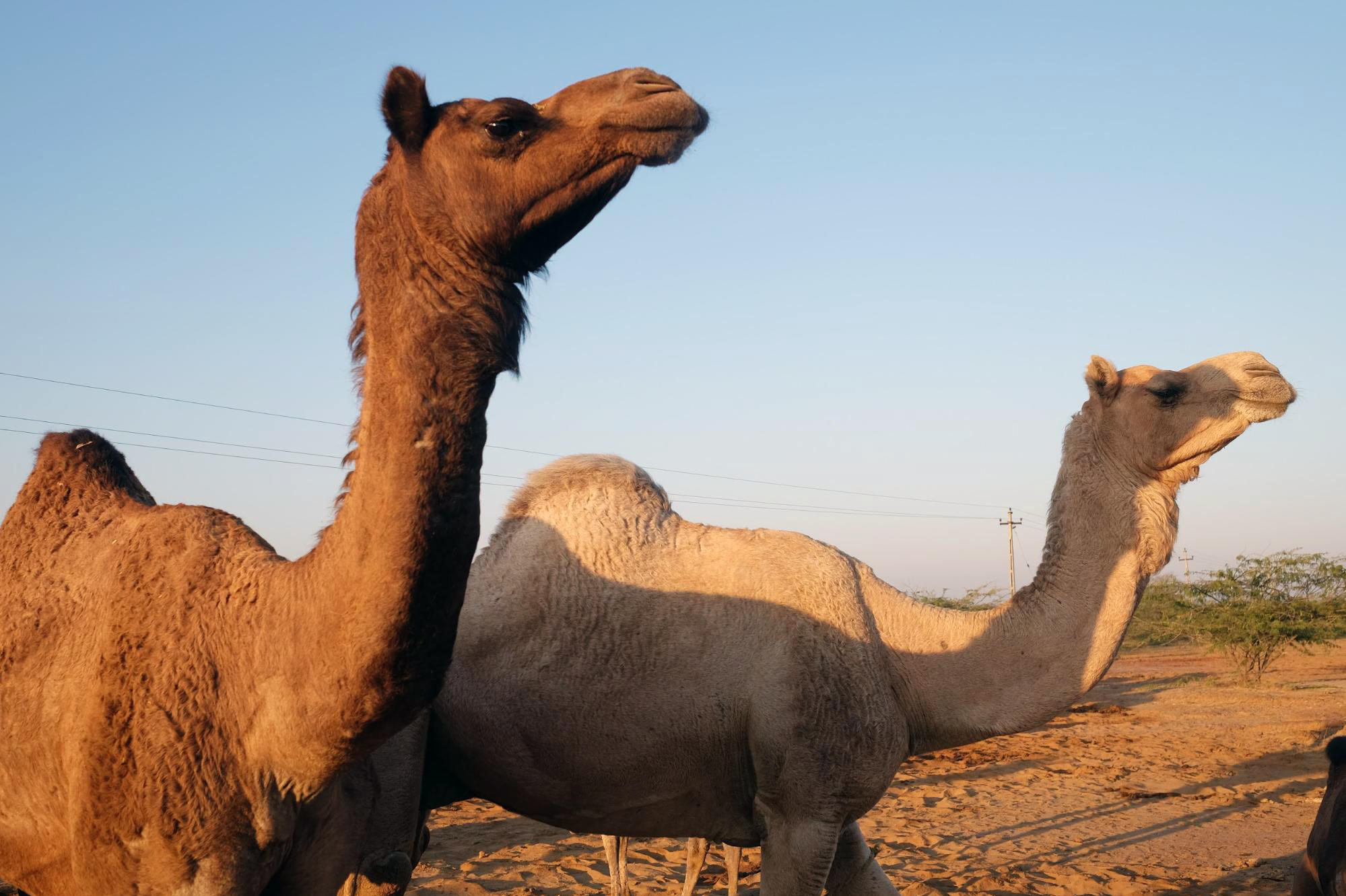 camel in hindi Read this short essay on camel in hindi language home  related essays: story of the beautiful camel in hindi story of the arab and the camel in hindi story of the monkey and the camel in hindi story of the innocent camel in hindi.