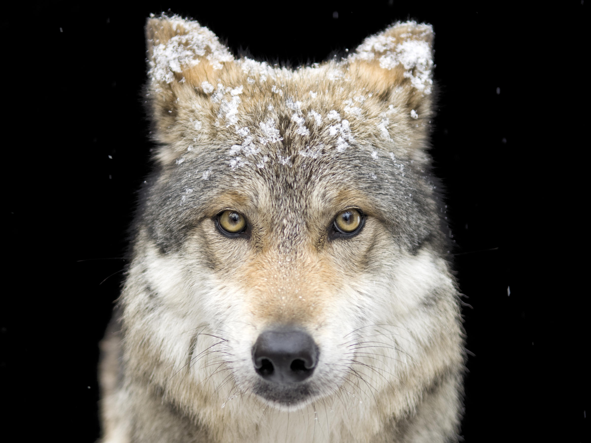 species and subspecies of wolves Assigned by authors to this species is texas  new subspecies of wolves are  segregated as follows: canis lupus  a dark-colored subspecies of medium size.