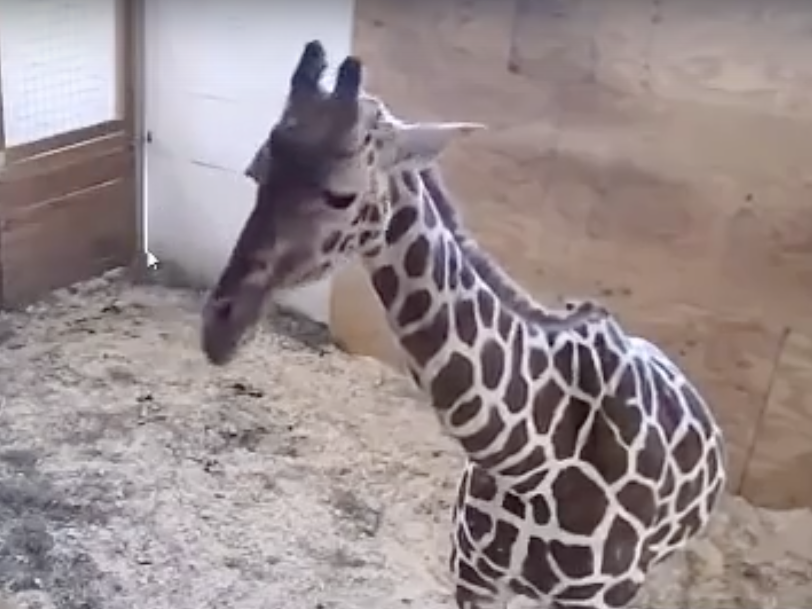 April the giraffe live cam youtube - 1595 X 1196 Pxdoes A Pregnant Giraffe Deserve Privacy Wabe 90 1 Fm A Screen Shot From The Youtube Live Stream Video Of April The Giraffe