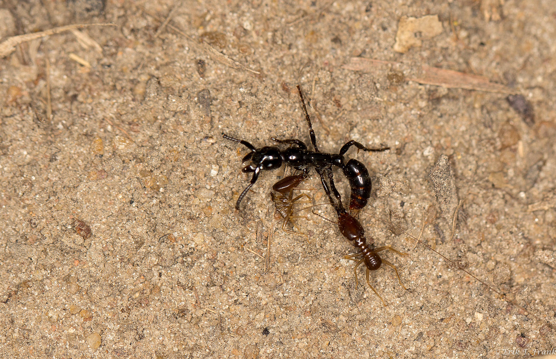 Soldier ants carry comrades wounded in raids back to base