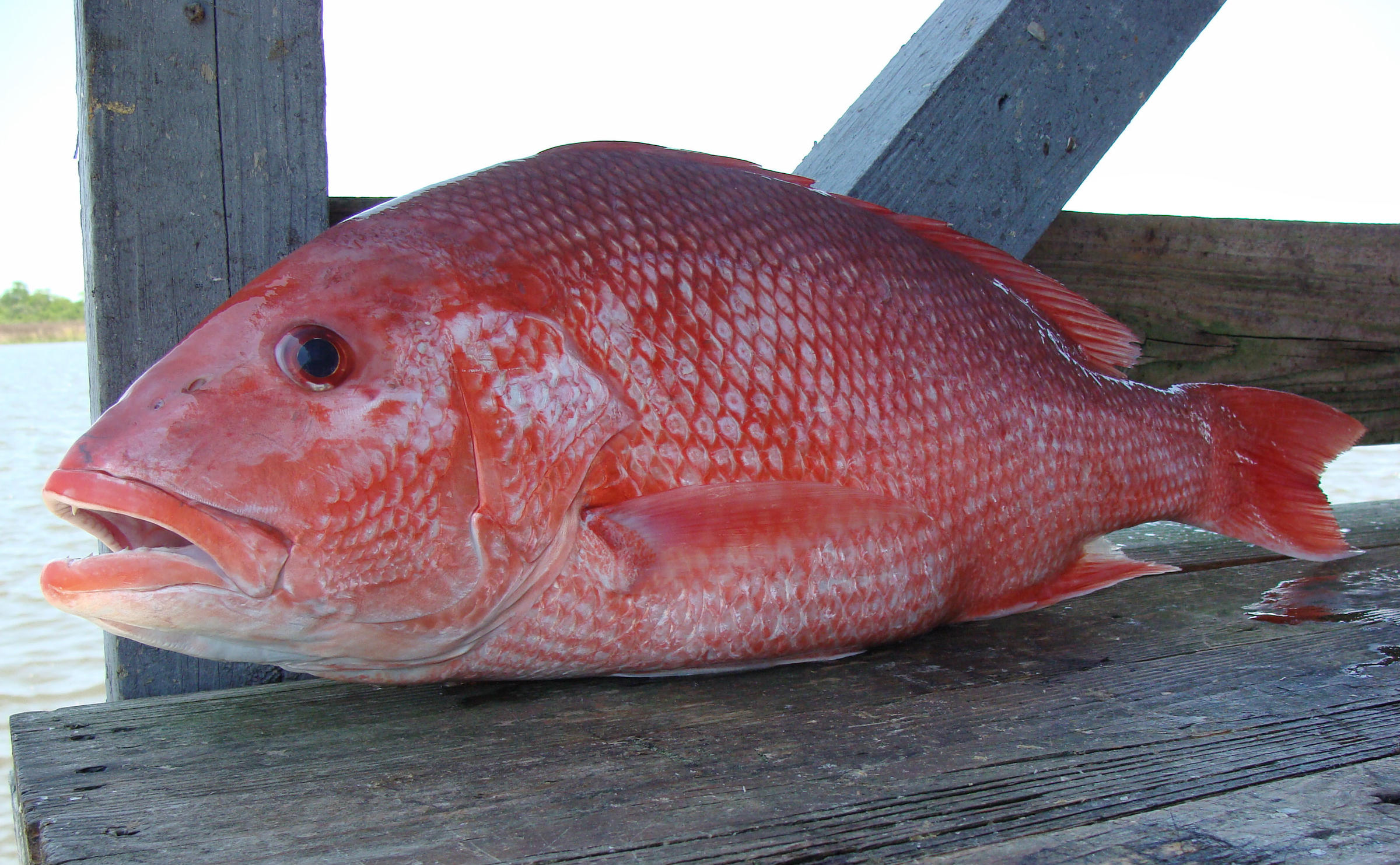 Gulf anglers fishery managers clash over red snapper for Red snapper fish