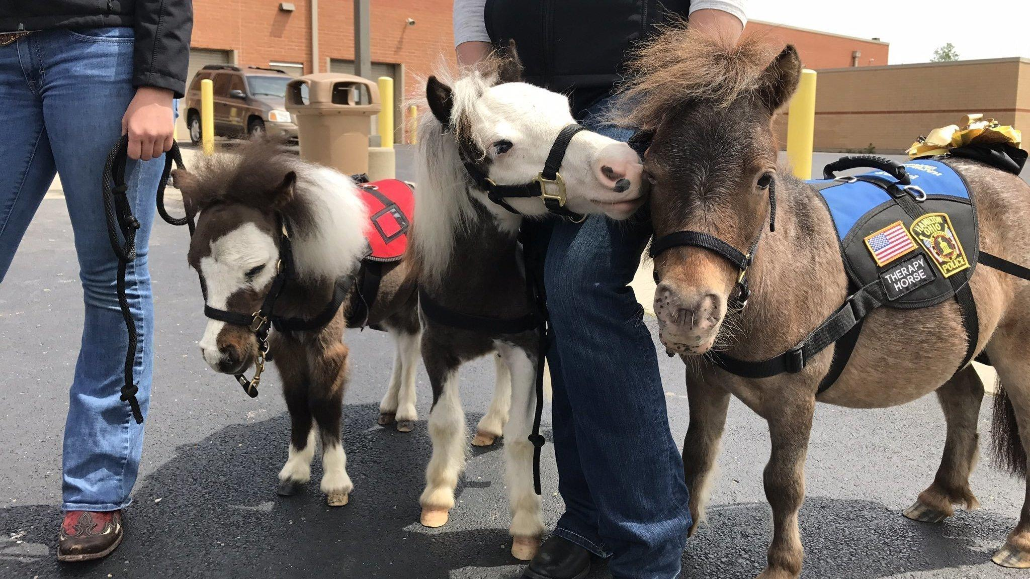 Stressed out at the airport now you can play with a mini horse therapy horses greet passengers as they arrive at cincinnatinorthern kentucky international airport m4hsunfo