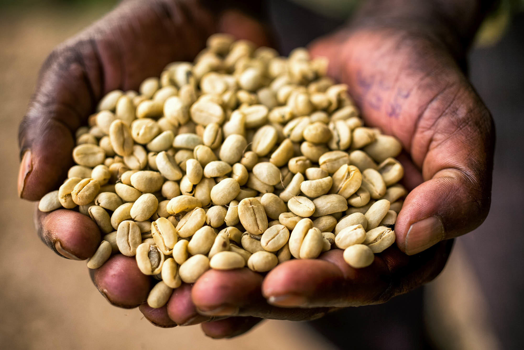 Ethiopia 39 s coffee farmers are 39 on the front lines of - Coffea arabica ...