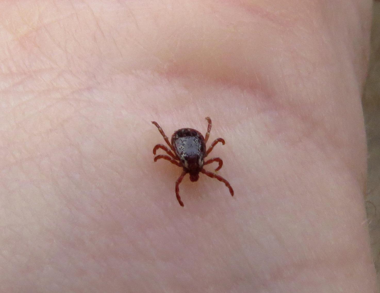 Lyme disease tick on dog