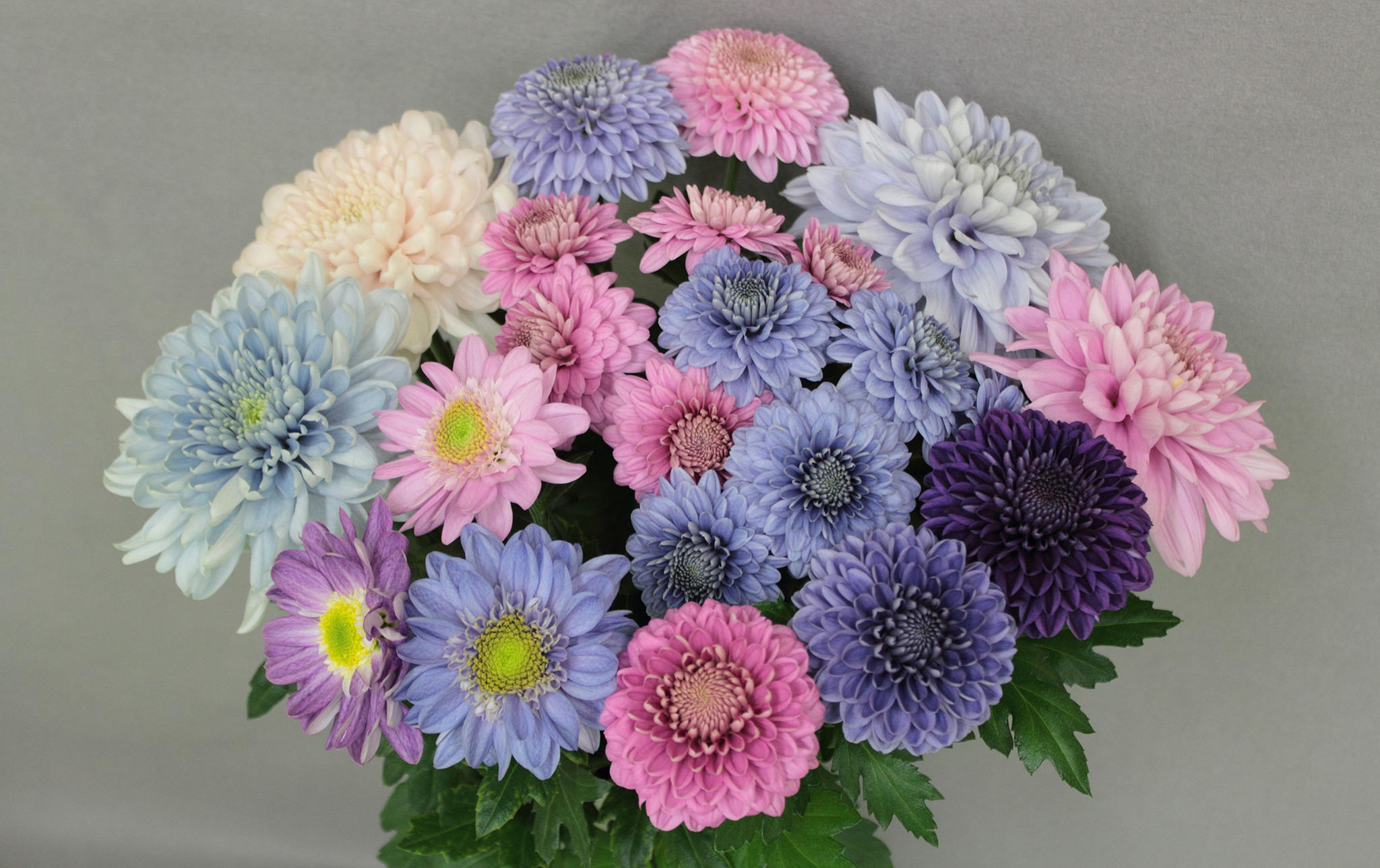 PHOTOS: Japanese Scientists Turn Chrysanthemums 'True Blue ...