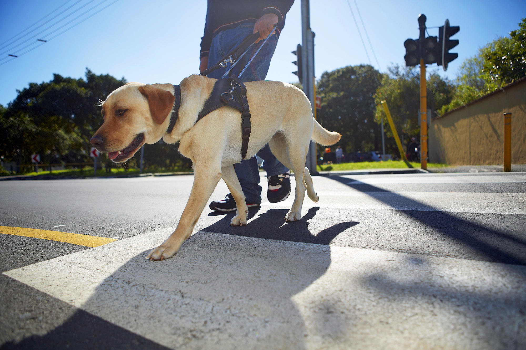 Guide Dogs In Training Pennsylvania